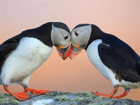 Puffins are declining and climate change could become the
